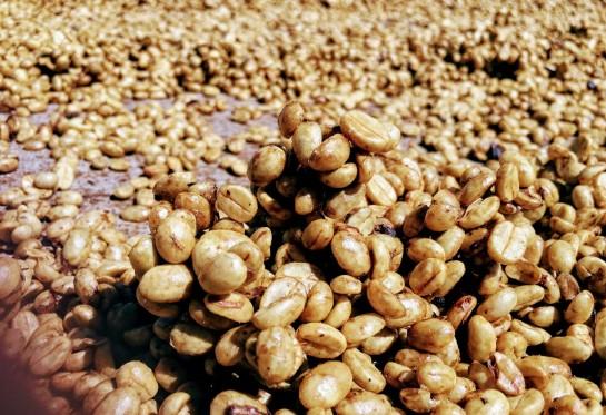 Nicaragua La Bendicion El Bosque Pacamara Honey